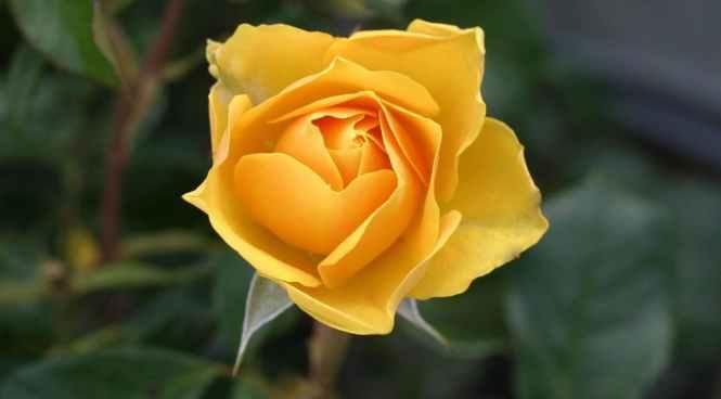 flower roses bloom blossom