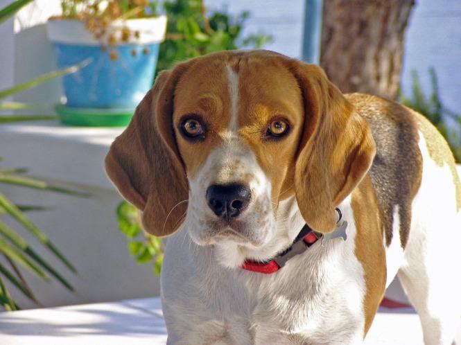 beagle-1815414_1280