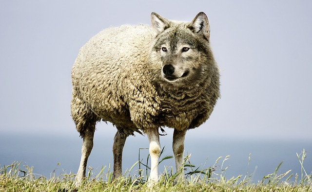 wolf-in-sheeps-clothing-2577813_640