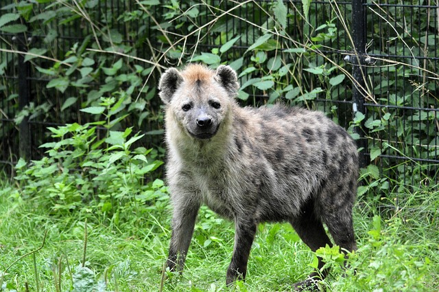 hyena-315125_640
